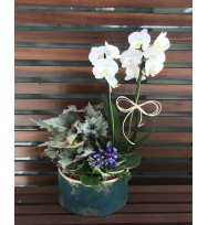 Kit Orquídea Phalaenopsis