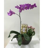 Orquídea Phalaenopsis com Chocolate