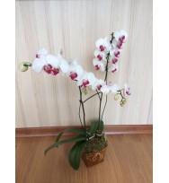 Orquídeas Phalaenopsis Branca