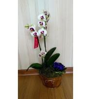 Phalaenópsis Mesclada
